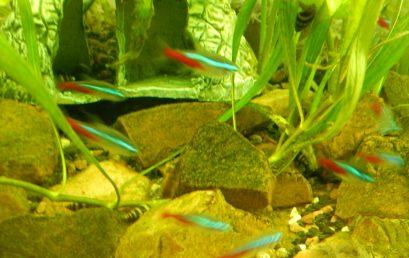 Quels poissons pour un aquarium ?