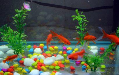 Quelle plante aquatique pour poisson rouge ?